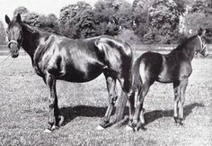 This is Black Cherry, a half sister to Tapit's twelfth dam Black Velvet, and a daughter of Black Duchess, a Reign de Course broodmare who is Tapit's thirteenth dam. Black Cherry was a very important producer in her own right.