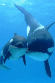 Killer whales, mom and baby. Is that a little kiss?