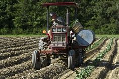 Eric Wilson runs the tractor out in the field while planting collard greens for the fall crop at Wilson's Farm in York County. Since Wilton S. Wilson's passing in May his three sons have worked to keep his farm alive. (Photo by Joe Fudge / Daily Press) Collard Greens, Hampton Roads, Planting, Fudge, The Hamptons, Tractors, Sons, Father, Fall