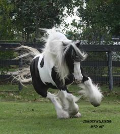 Gypsy Vanner Horse for Sale | Mare | Piebald | MVP Mary