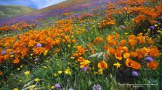 California Poppies, Antelope Valley, California