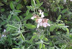 The Secret Real Truth: Φασκόμηλο το βότανο της αθανασίας!