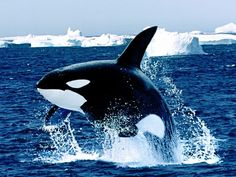 Icelandic Killer Whale Orca Whale