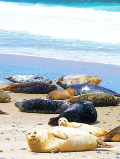 """Lazy seals on """"The Dune"""" on the north sea island Helgoland"""