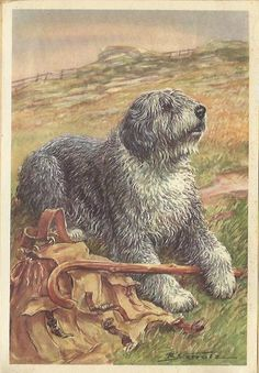 Old English Sheepdog OES by Scholz 1960 colour dog print