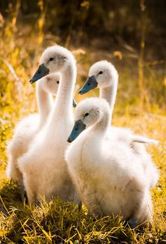 (KO) Goslings (baby geese). A group of geese is a gaggle. Geese can be evil suckers. They chase a victim and bite so hard with their beaks that it leaves a bruise. Children are favorite victims because they are small  and non threatening. Some geese are friendly and sweet natured, but the mean ones are awful. Grab a big stick, stand your ground,