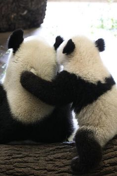 2011 03 23 Tiergarten Schonbrunn - Zoo Vienna - Yang Yang & Fu Hu 046 | Flickr - Photo Sharing!