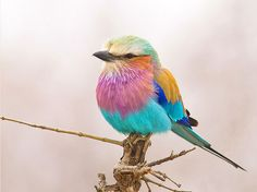 Lilac breasted roller. Found in Sub-Saharan African and southern Arabian peninsula.