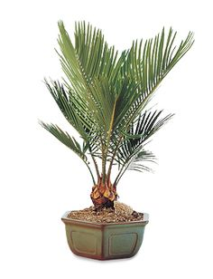 Sago Palm Bonsai - a tropical flair to any household beautifully placed in a traditional Japanese ceramic pot. Single palm, $55.95