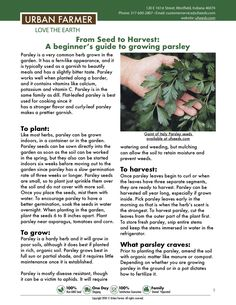 Learn to grow parsley from seed to harvest. The growing guide is for beginners to advanced gardeners. Growing parsley from seed is easy and delicious. Growing Green Beans, Growing Herbs, Growing Vegetables, Backyard Vegetable Gardens, Garden Plants, Herb Garden, Organic Soil, Organic Gardening, Nitrogen Fixation