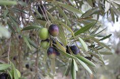 """Für das sortenreine Jahrgangsöl """"Pure"""" kommt die seltene Oliven-Sorte Amfissa in die Dose."""