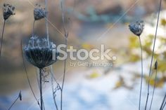 Nature's Beauty in Winter Royalty Free Stock Photo Queen Annes Lace, Out Of Focus, Winter Photos, Closer To Nature, Image Now, Royalty Free Stock Photos, Pastel, Flowers, Plants