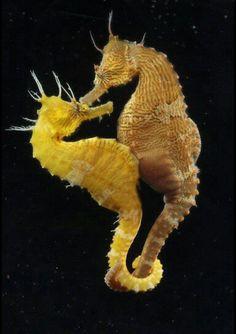 Romance of the Seas: Strange Mating Habits of the Seahorse Hypocampe - Sealife Underwater Creatures, Underwater Life, Ocean Creatures, Beautiful Creatures, Animals Beautiful, Fauna Marina, Sea Dragon, Wale, Tier Fotos