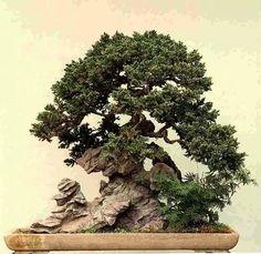 Traditional bonsai on scholar's rock