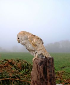 Wood carving Carved wood sculpture by artist Martyn Bednarczuk titled: 'Barn Owl (Carved Wood)' #sculpture #art