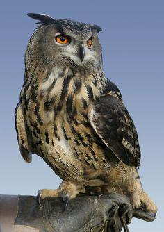 https://flic.kr/p/HL238r | Grand duc d'Europe #animalcontact #eagle #owl #hibou #duc