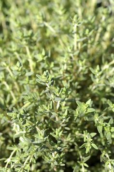 Thym : planter et cultiver du thym