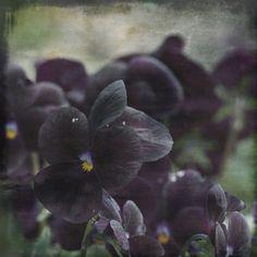 Fine art print Nature Photo Black Pansy by TheShutterbugEye,