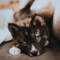 Look at those eyes! 25 of the Cutest Puppies We've Ever Seen Cute Husky Puppies, Cute Puppy Breeds, Super Cute Puppies, Cute Baby Dogs, Cute Little Puppies, Cutest Dog Breeds, Wolf Puppies, Pretty Animals, Cute Little Animals