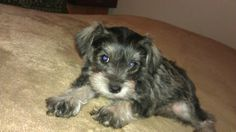 My new puppy. Her name is Molly. She is a Schnoodle. Mini-Schnauzer/Mini-Poodle.♥♥
