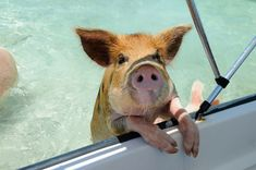 One of the Bahama's famous swimming pig begs for scraps from the Staniel Cay Yacht Club kitchen