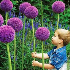 10Pcs New Purple Giant Allium Giganteum Flower Seeds Garden Plant Beautiful COH