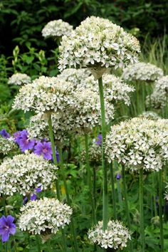 Allium nigrum.  Position: full sun  Soil: fertile, well-drained soil  Rate of growth: fast-growing Flowering period: June  Flower colour: white  Other features: grey-green leaves Hardiness: fully hardy  Height: 50-70cm (20-28in)