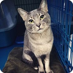 Squirrel is a good looking cat and also well behaved!  He is up for adoption at the Humane Society of New York.
