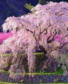 Matabe Sakura 又兵衛桜NARAMatabe Sakura is over 400 years old. Every spring, people flock to see this magnificent weep. Japan Sakura, Japan Japan, Beautiful Flowers, Beautiful Places, Sakura Cherry Blossom, Cherry Blossoms, Colorful Trees, Blossom Trees, Parcs