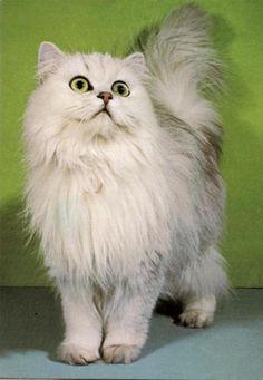 siamská kočka cena - Hledat Googlem