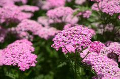 Perennials Yarrow is very drought tolerant and low maintenance. - Perennial flowers add color to the garden in a way that few other plants can. See photos to help you decide which to choose. Low Maintenance Landscaping, Low Maintenance Garden, Flowers Perennials, Planting Flowers, Landscaping Las Vegas, Hillside Landscaping, Landscaping Melbourne, Driveway Landscaping, Landscaping Plants