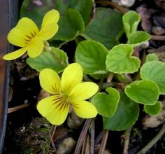 Trailing yellow violets- so pretty for a damp spot