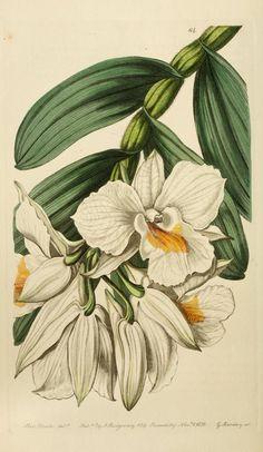 Edwards' botanical register, or, Ornamental flo...