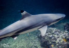 Black Tip Reef Shark taken while #scubadiving at Phi Phi Islands Marine National Park Ao Nang Krabi Thailand