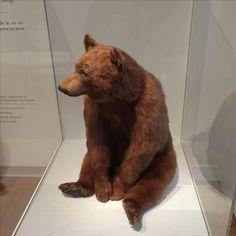 Royal Ontario Museum Royal Ontario Museum, Brown Bear, Animals, Animales, Animaux, Animal, Animais