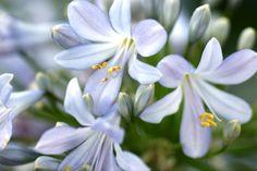 Agapanthus, Plants, Plant, Planets