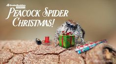 Merry Peacock Spiders Fully Embrace Their Christmas Spirit in a Lavish Show of Goodwill