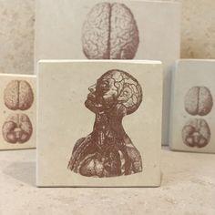 minilitos de piedra con litografias de anatomia humana. Estampa de busto con el sistema circulatorio. #anatomy