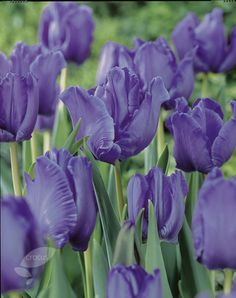Buy parrot tulip bulbs Tulipa 'Blue Parrot': Delivery by Crocus.co.uk  I am very fond of tulips and I love this purple variation very much!