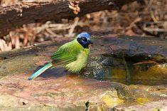 A green jay puffs up its feathers after taking a bath at the National Butterfly Center in Mission, Texas, which is in the lower Rio Grande Valley, just north of Mexico.