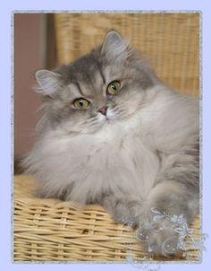 BLH cat, blue golden