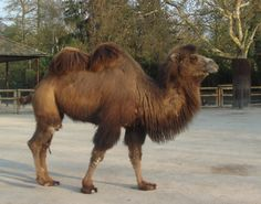 goods from Central Asia- camels