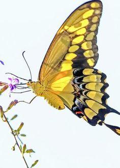 Buterfly todo pinterest mariposas for Loveland tattoo shops