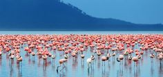 The largest flamingo migration occurs inLake Bogoria in Kenya. The alkaline lake is filled with blue-green algae which the flamingos feed on.
