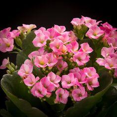 Certi Kalanchoe Morne, roze kamerplant, kleine plantjes, planten kopen, bloeiende kamerplant, Bloemen, Planten, webshop, online bestellen, rozen, kamerplanten, tuinplanten, bloeiende planten, snijbloemen, boeketten, orchideeën kopen