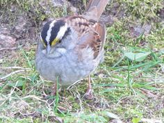 White-throated Sparrow Bird Book, Costa Rica, Birds, Animals, Animales, Animaux, Bird, Animal, Animais