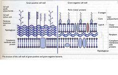 gram-negative bacilli :o :: Gram-positive vs. Gram Negative Bacteria, Cell Wall, Medical Laboratory, Environmental Health, Med School, Pharmacology, Biology, Medicine, Positivity