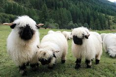 ♦Valais Blacknose Sheep ♦The Valais Blacknose, German: Walliser Schwarznasenschaf is a breed of domestic sheep originating in the Valais region of Switzerland. It is a dual-purpose breed, raised both for meat and for wool. Both rams and ewes are horned. Wikipedia