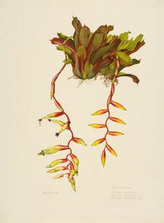 Margaret Mee, 1959 Bromeliaceae  Vreisia [NOTE: variation, ie on top of ei on drawing] simplex (Vell.) Beer Bertioga, São Paulo Flowered September, 1959