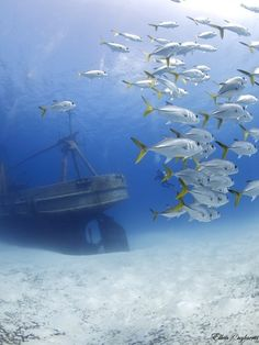 School of Jacks find a home near the ex-USS Kittiwake #caymanislands